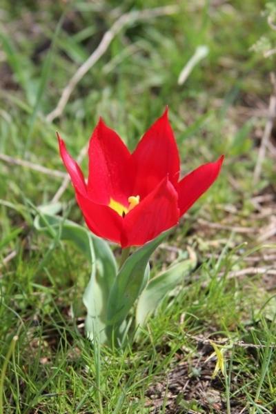 Тюльпан. Республика Калмыкия. Фото А. Антончикова