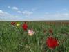 Тюльпаны в степях. Республика Калмыкия. Фото предоставлено Светланой Улановой, РЭОО РК «Наш край»