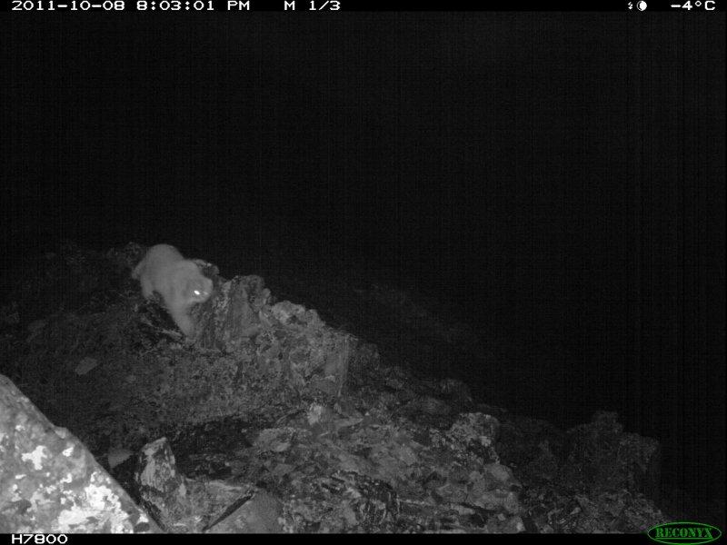 Pallas's cat. From photo camera, Chikhachev's Ridge, Altai Republic, Russia. Researcher Sergey Spitsyn