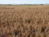 Рудеральная полынь Artemisia scoparia сохраняет абсолютное доминирование на залежи примерно 20-летнего возраста в подзоне настоящих степей. Хустай, Центральная Монголия. Сентябрь 2009. Фото И. Смелянского