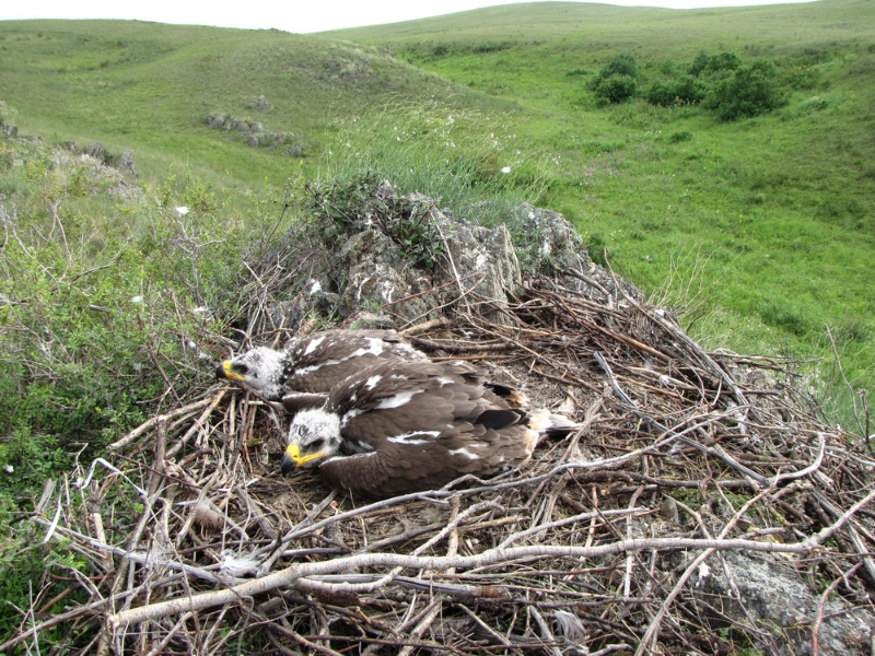 Chicks of Steppe eagle in the nest. Photo by Anna Barashkova