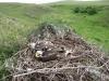 Птенцы степного орла. Фото А. Барашковой