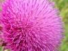Carduus nutans часто встречается на сбитых степных пастбищах. Предгорья Западного Алтая, Алтайский край. Июнь 2008. Фото И.Э. Смелянского