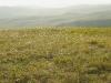 Spiraea trilobata и Pulsatila patens в настоящей богаторазнотравной кустарниковой степи - вдрзд Чарыш – Маралиха, Алтайский край. Фото И.Э. Смелянского