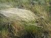 Stipa zalesskii – один из самых массовых видов ковыля в Западном Алтае и Калбе, типичный доминант настоящих и (иногда) луговых степей. Калбинский Алтай. Восточный Казахстан. Июнь 2006. Фото И.Э. Смелянского
