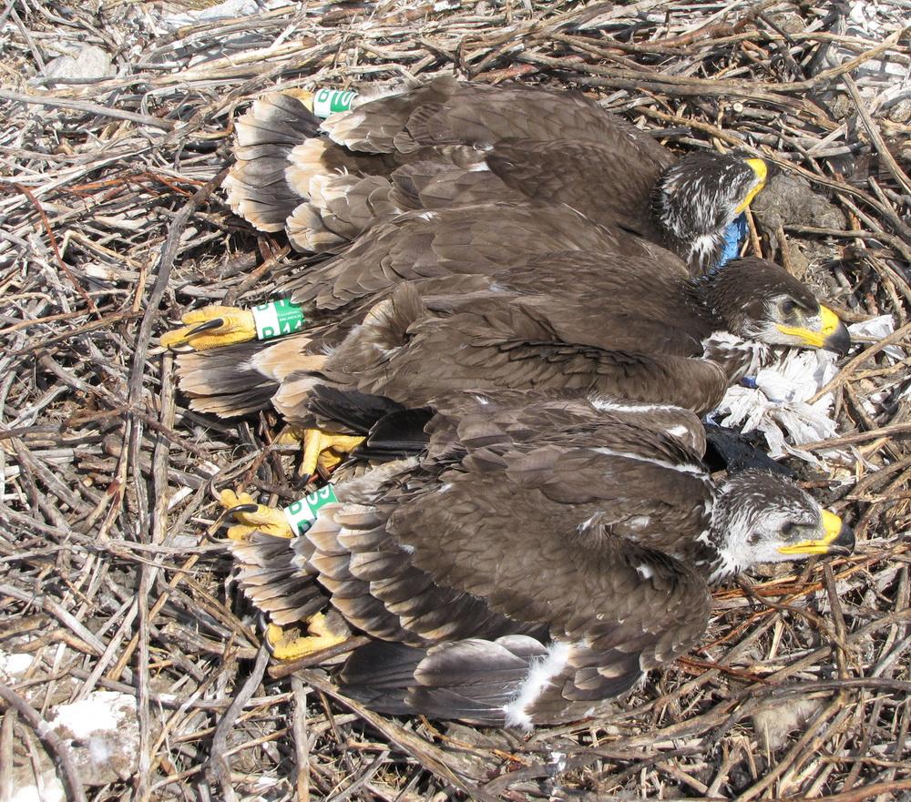 Птенцы степного орла, окольцованные новыми цветными кольцами центра кольцевания хищных птиц Российской сети изучения пернатых хищников. Оренбургская область