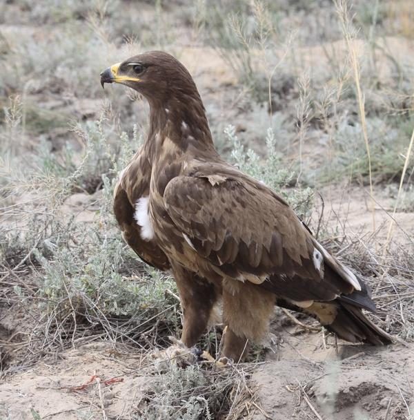 Степной орел. Фото А. Коваленко