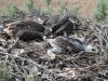 Кольцевание степных орлов в Калмыкии, июнь 2014