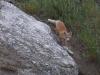 Лисенок (Vulpes vulpes) с опаской (он знает, что люди рядом) спускается к своей норе под скалой. Холмы над озерами Косколь. Беляевский р-н Оренбургской области. Июнь 2010. Фото И.Э. Смелянского