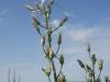 Ornithogalum fischerianum. Адамовский р-н Оренбургской области. Июнь 2010. Фото И.Э. Смелянского.