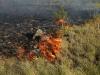 Степной пожар вблизи. Этот куст спиреи (Spiraea hypericifolia) через несколько секунд сгорит дотла. Уцелеет, скорее всего, его подземная часть, а надземная восстановится, возможно, только через несколько лет (если это вообще случится). При прочих равных степные кустарники более страдают от пожаров, чем травянистая растительность. Адамовский р-н Оренбургской области. Июнь 2010. Фото И.Э. Смелянского.