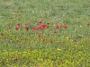 Тюльпаны цветут. Фестиваль «Воспетая степь», 18 апреля 2015 г., Ростовская область. Фото с сайта agro2b.ru