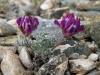 Oxytropis pumila в петрофитном варианте сухой (ксерофитной) горной степи. Курайский хребет, Республика Алтай, июль 2009. Фото И.Э. Смелянского