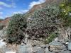 Колючее подушкообразное растение, Oxytropis thragacanthoides – один из символических видов петрофитных вариантов сухой (ксерофитной) горной степи. Хребет Сайлюгем, Республика Алтай, июль 2009. Фото И.Э. Смелянского