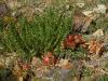 И еще один Oxytropis - Oxytropis trichophysa в петрофитном варианте горной степи. Хребет Сайлюгем, Республика Алтай, июль 2009. Фото И.Э. Смелянского