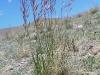 Helictotrichon pubescens в горной сухой (ксерофитной) степи в массиве Талдуаир. Республика Алтай, июнь 2008. Фото И.Э. Смелянского