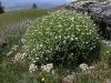 Stellaria dichotoma in montane meadow steppe. Kurai Ridge, Altai Republic, Russia. July 2009. Photo by Ilya Smelansky