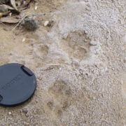 Pallas' cat tracks  © http://www.ubsunurtuva.ru/