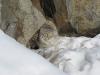 Манул, окрестности оз. Чедер, Республика Тыва, 1 марта 2011. Фото А.Н. Барашковой