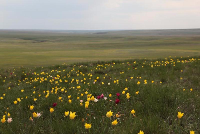 Памятник природы «Урочище Мулин Дол»: тюльпаны Шренка цветут в сухой полынково-типчаково-ковылковой степи на склонах Фитальского дола в начале мая