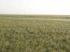 Памятник природы «Урочище Мулин Дол»: солонцеватая грудницево-деновиннозлково-тырсовая степь на плакоре сырта. Пологие холмики - старые сурчины, свидетельство прежнего обитания здесь степного сурка