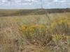 Грудница и прутняк цветут в конце лета в солонцеватой сухой ксерофитноразнотравно-дерновиннозлаковой степи. Самарская область