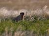 Крупная колония сурка имеет теперь правовую защиту от охоты, Телегасская степь, Самарская область. Фото А. Паженкова