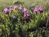 Памятник природы «Урочище Мулин Дол»: ирис низкий цветет в сухой полынково-типчаково-ковылковой степи в начале мая
