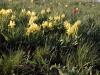 Памятник природы «Урочище Мулин Дол»: тюльпан Шренка и ирис низкий цветут в сухой полынково-типчаково-ковылковой степи в начале мая