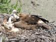 Самка степного орла с птенцом. Кош-Агачский район, Республика Алтай, июнь 2013. Фото А.Н. Барашковой