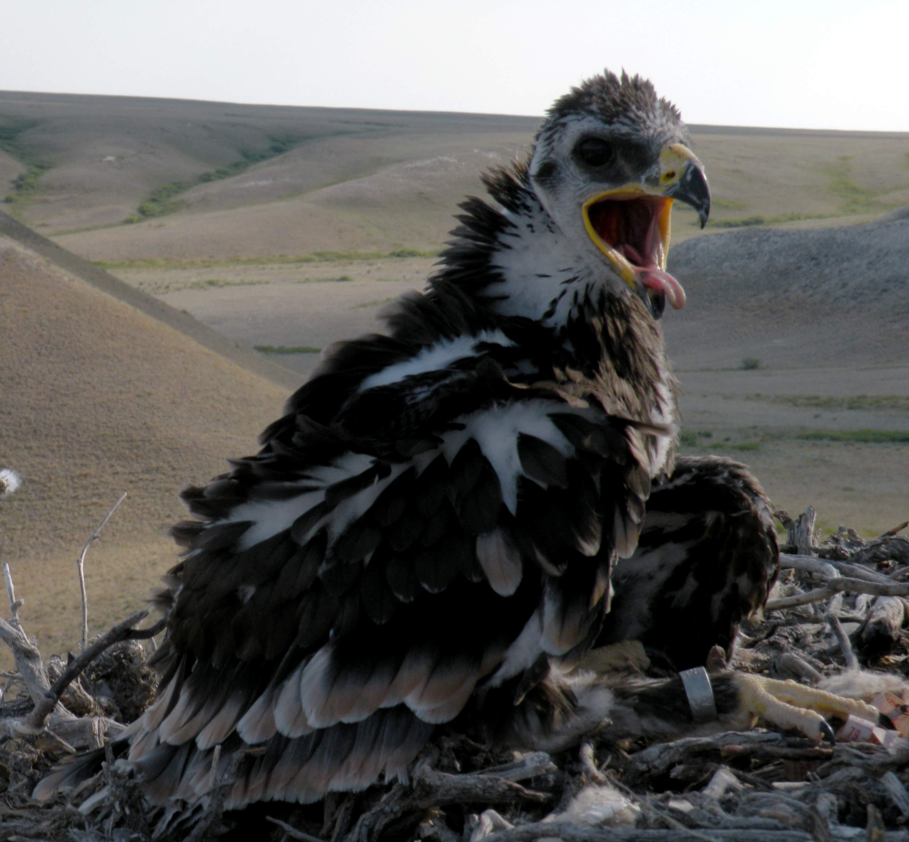 Окольцованный птенец степного орла на гнезде