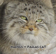 Pallas cat study and conservation program