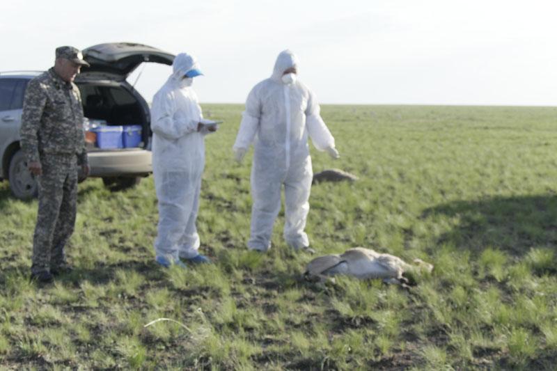 Падеж сайгаков. Фото с сайта МСХ РК