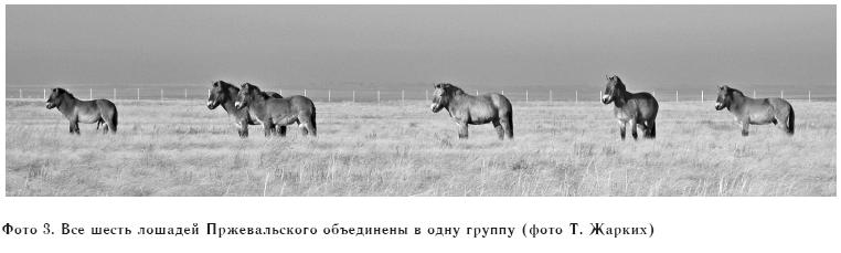 Фото 3. Все шесть лошадей Пржевальского объединены в одну группу (фото Т. Жарких)