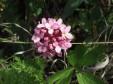 Волчеягодник боровой (Daphne cneorum). Фото А.В. Полуянова