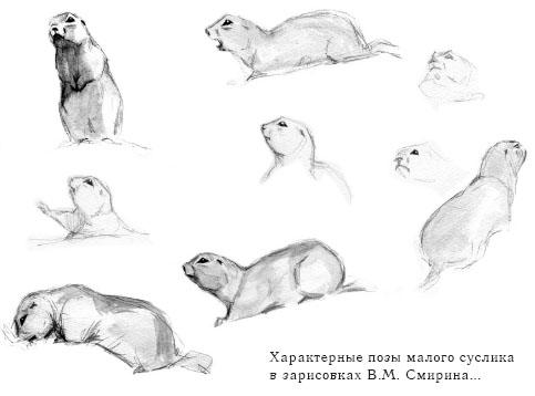 Характерные позы малого суслика в зарисовках В.М. Смирина...