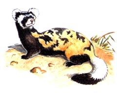 Перевязка (Vormela peregusna). Рисунок из КК РФ